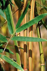 2 For 1 Sale: 1 Gallon Hedge Bamboo 'Alphonse Karr' Bambusa Multiplex Buy One Get One FREE