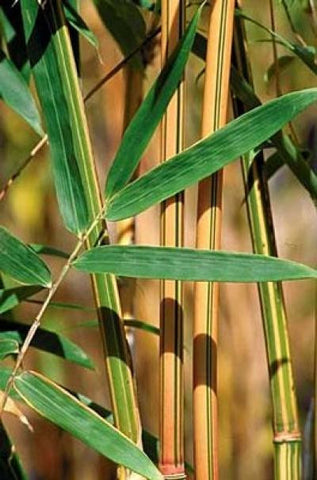 Picture of Alphonse Karr Yellow Clumping Hedge Bamboo  Bambusa Multiplex 3 gallon size