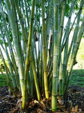 Picture of Angel Mist Bamboo Ghost Bamboo Dendrocalamus Minor Amoenus