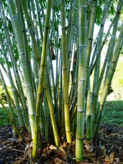 Angel Mist Bamboo Ghost Bamboo Dendrocalamus Minor Amoenus