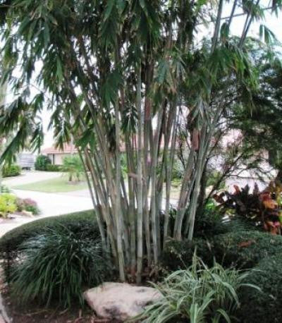 Picture of Angel Mist Blue Ghost Bamboo Dendrocalamus Minor Amoenus