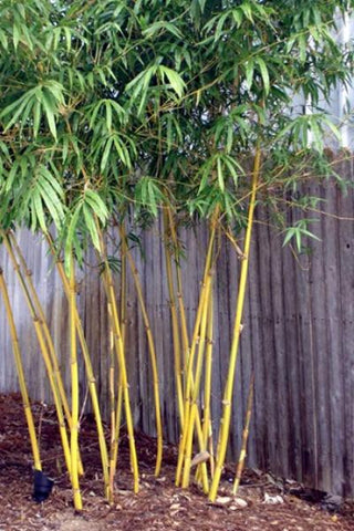 Picture of Asian Lemon Medium Sized Yellow Clumping Bamboo