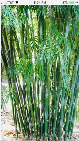 Picture of Emerald Bamboo- Bambusa Textilis Mutabulis Clumping Hedge Bamboo