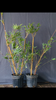 "2 For 1 Sale: ""Alphonse Karr"" Clumping Hedge Bamboo Bambusa Multiplex. Buy One Get One FREE"