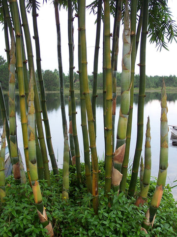 Picture of Giant Timber Bamboo | Bambusa Oldhamii