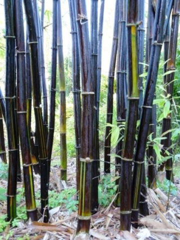 Picture of Black Bamboo