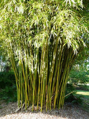 Graceful Bamboo- Bambusa Textilis Gracilis Clumping Hedge Bamboo