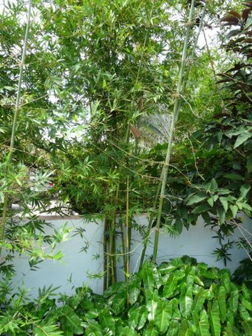 Picture of Seabreeze Bamboo | Bambusa Malingensis