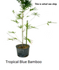 Tropical Blue Bamboo Chungii Clumping Blue Bamboo