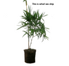 2 for 1 Sale BOGO 1 gal Golden Hawaiian Bamboo | Bambusa Vulgaris Vittata