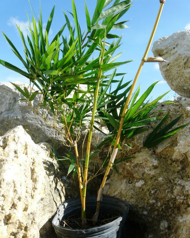 Picture of 2 for 1 Sale BOGO 1 gal Golden Hawaiian Bamboo | Bambusa Vulgaris Vittata