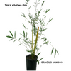 Graceful Bamboo | Bambusa Textilis Gracilis