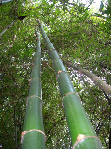 Picture of Vulgaris Tropical Timber Clumping Bamboo | Bambusa Vulgaris