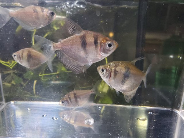 Large Black Skirt Tetra