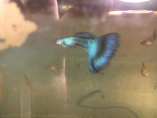 Young Blue Moscow Guppy Pair IFGA Show Winning Line