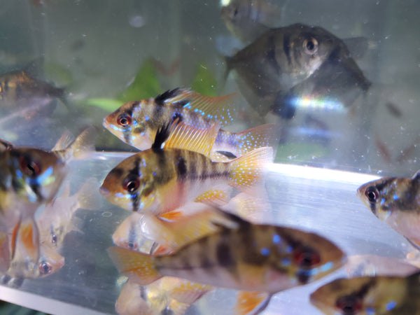 German Blue Rams (Pairs Available)