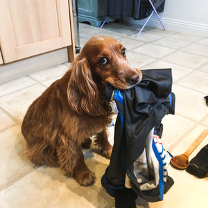 Laundry thief dog stealing clothing