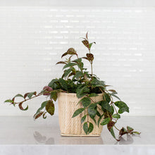 Load image into Gallery viewer, Lipstick Black Pagoda Live Plant + Basket