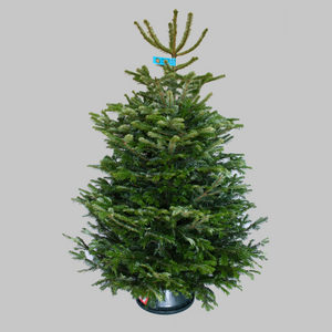 Nordmann Fir (Most Popular)