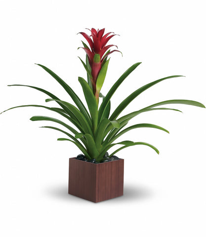 Beautiful Bromeliad