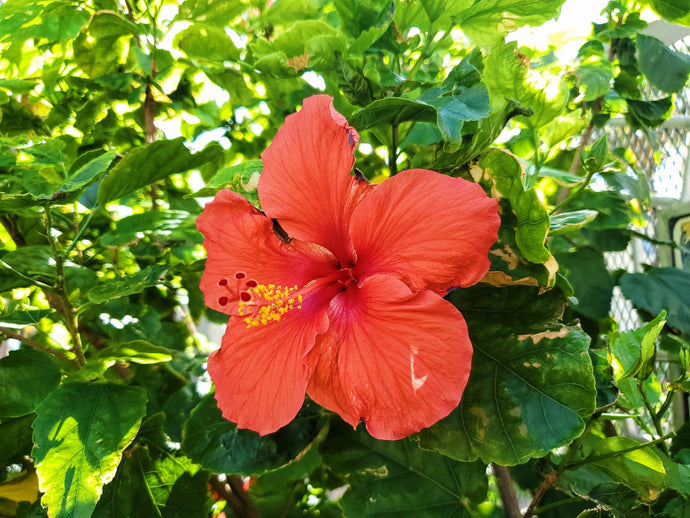 Hibiscus Tea Around the World and its History