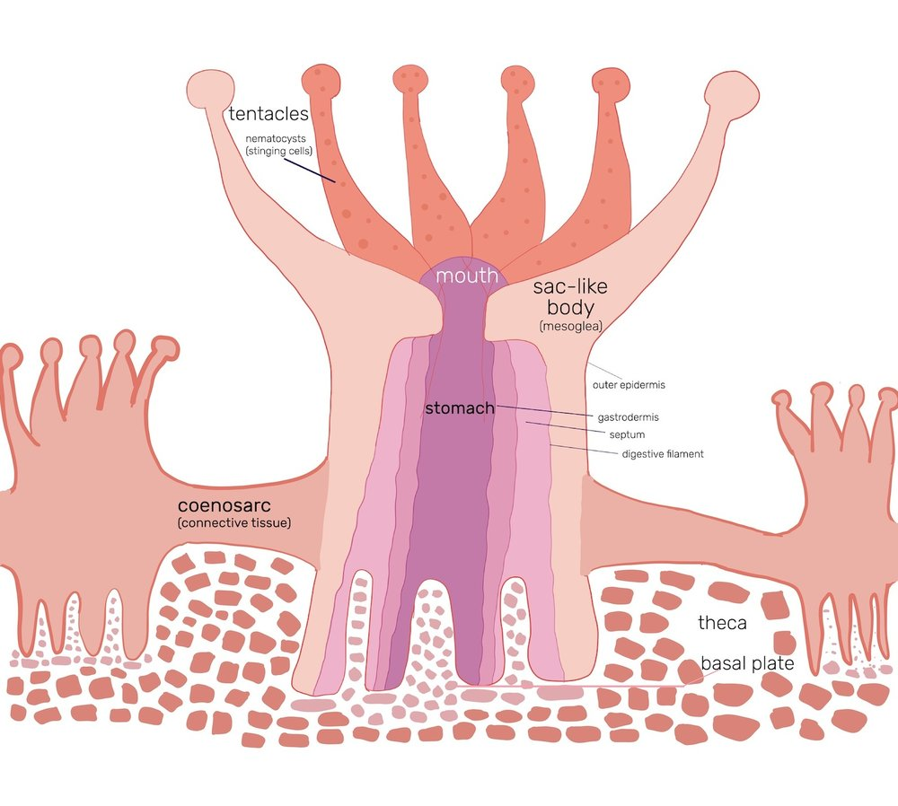 coral-polyps-are-connected-diagram-harken-derm.jpg