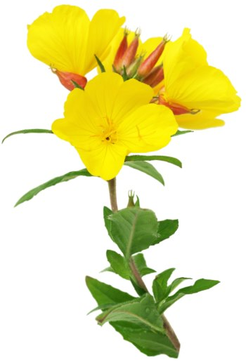 evening primrose glowing skin