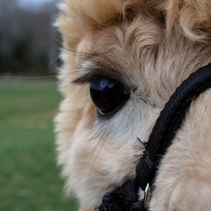 Huacaya alpacas of the highest quality meeting all Alpaca Owners Association Breed Standards.