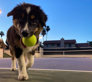 Kona, the All About Tennis Australian Shepard