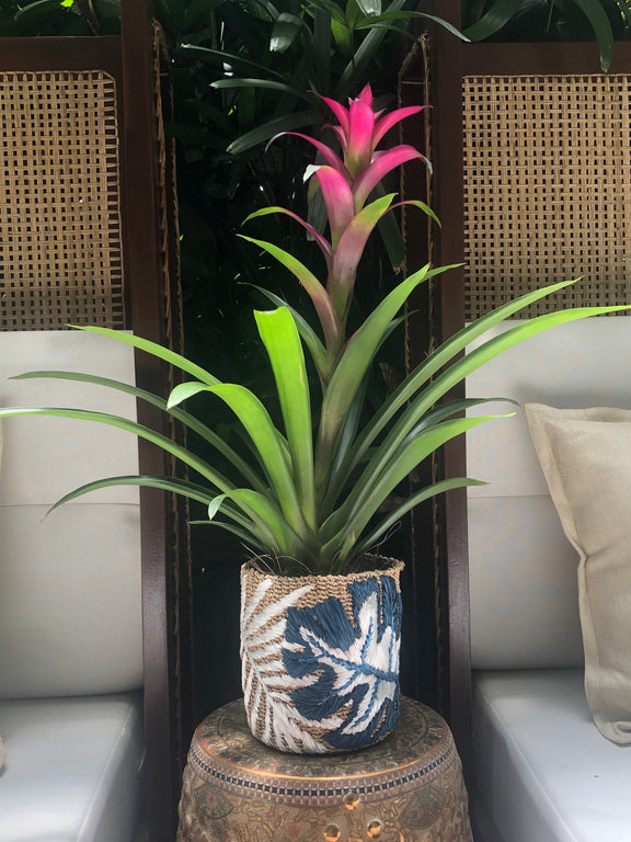 Blue Leaf Abaca Planter