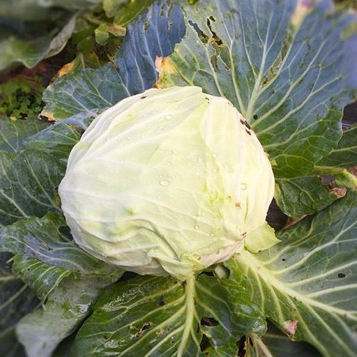 Cabbage Round | Indonesia | +/-1.5kg