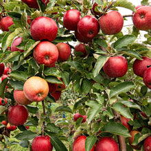 Load image into Gallery viewer, nz-red-apple-online-delivery-singapore-thenewgrocer