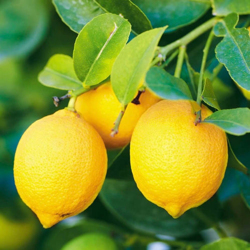 Shop Yellow Lemon & Fruits in Singapore - The New Grocer