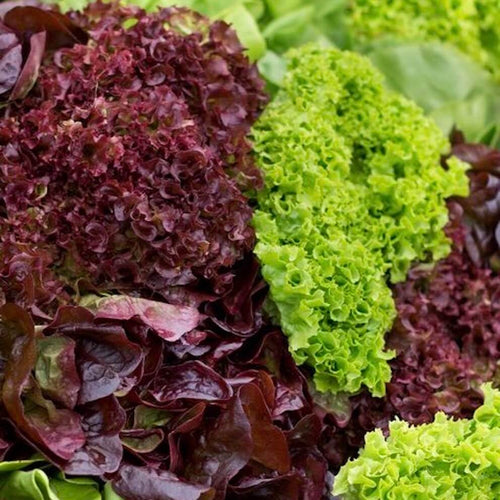 lettuce-frizzie-red-online-grocery-supermarket-delivery-singapore-thenewgrocer