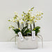 Phalaenopsis Orchid Boquetto beauty in calabrie aquo white