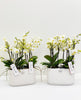 Phalaenopsis Orchid Boquetto beauty in Calabrie Duo aqua white