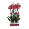 Red Asian Phalaenopsis Orchid