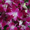 Galaxy Purple Dendrobium Orchids