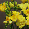 10 Sunshine Yellow Freesia