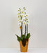 White Luxury Phalaenopsis Orchid