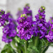 10 Matthiola Iron Purple