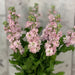 10 Matthiola Milla Light Pink