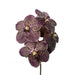 Cut Vanda Chocolate Brown ( 4 Stems Box)