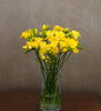 Sunshine Yellow Freesia