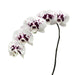 Wine Drops Phalaenopsis 10-14 ( 4 Stems Box)