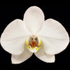 White London Phalaenopsis Orchid