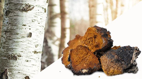 Chaga mushrooms in forest