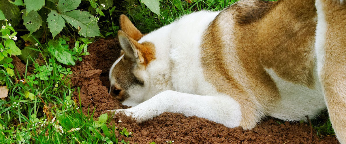 Why Your Dog Is Digging Up The Yard