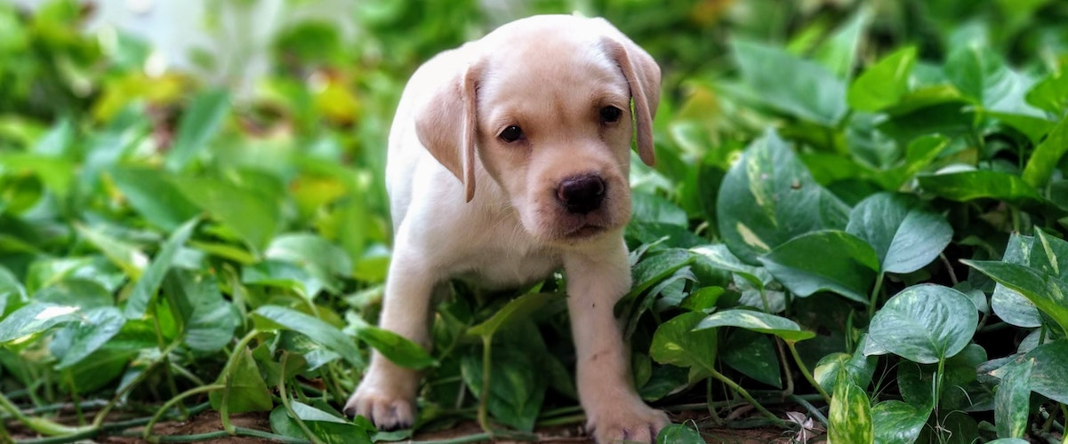 Puppy Proof Home And Garden From Poisonous Toxic Plants