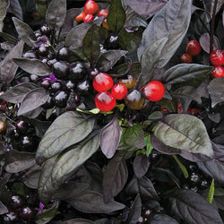 15 Seeds Black Pearl Heirloom Hot Pepper Ornamental & Edible Rare Black Leaves!!